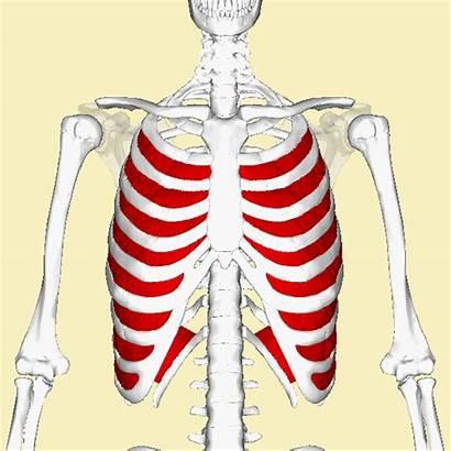 Muscles Intercostal Internal Animation Interni Intercostaux Intercostali