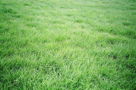 Buy Buffalo Grass Seed India • Syed Garden
