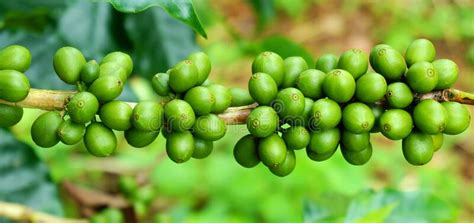 Arabica beans tend to be lighter, fruitier, acidic, and more floral in taste and aroma. Coffee Plants. Branches With Coffee Beans Stock Photo - Image of beans, colombia: 159548994