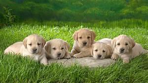 Yellow Lab Puppy wallpaper   1366x768   #59291