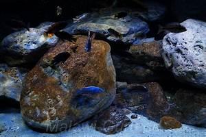 Aquarium Gestaltung Bilder : malawi malawisee aquarium dekorationen ~ Lizthompson.info Haus und Dekorationen