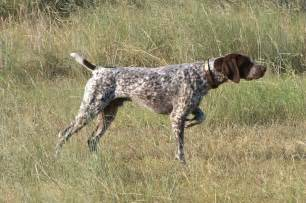 German Shorthaired Pointer Vs Lab Shedding by 100 A 241 Os De Quot Progreso Quot De Algunas Razas De Perros P 225 Gina