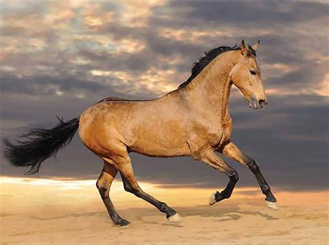 spanish barb horse horses blooded cold vs warm espagnol barbe breeds le equine cowgirl