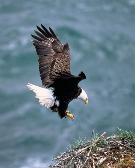 the bald eagle is the national bird of the united states