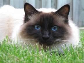 birman cat birman cat purrfect cat breeds