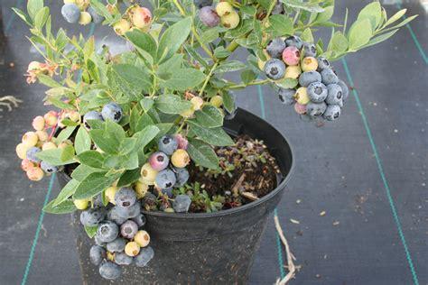 heidelbeeren pflanzen balkon heidelbeere blue lubera de