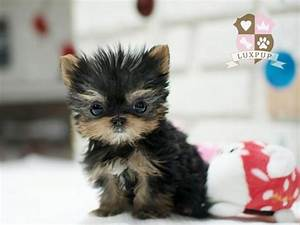 Teacup Size Yorkie   Flickr - Photo Sharing!