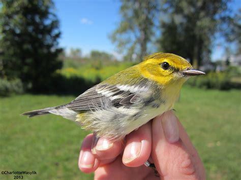 bird banding in ontario bird canada
