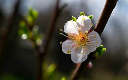 Cherry Spring Blossom Flowers Flower Wallpapers Wallpaperaccess