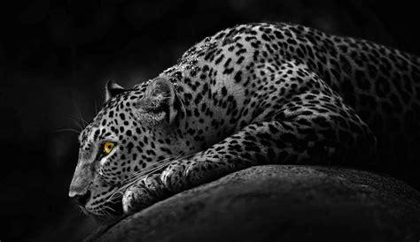black jaguar animal hd wallpapers jaguar leopard