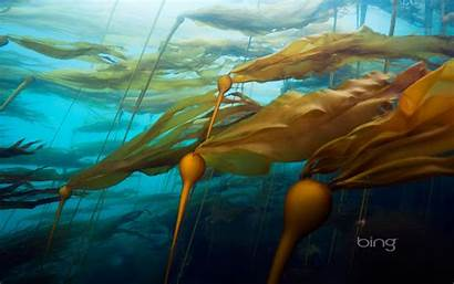 Bing Kelp Forest Wallpapers Daily Bull Columbia
