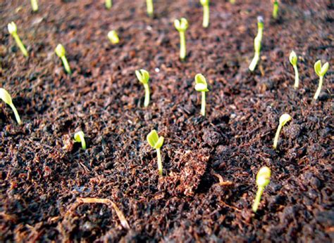 growing vinca from seed ameriseed net marigold and high quality flower seeds 万寿菊及其它高品质花种 vinca growing information