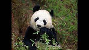Pandas Prefer Old Forests Science AAAS
