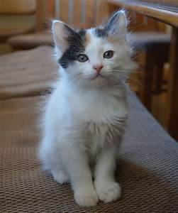 Japanese Bobtail Kitten | Japanese Bobtail Cats and ...