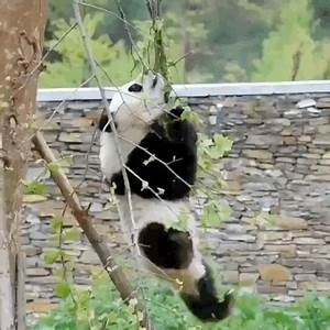 Panda Fail GIFs - Find & Share on GIPHY