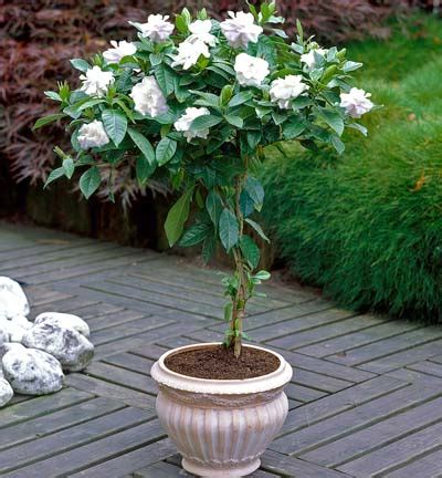 August Beauty Gardenia Patio Tree For Sale Brighter