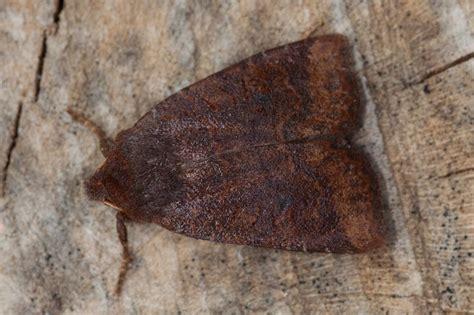 dark chestnut conistra ligula norfolk moths