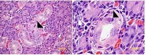 Guinea Pig Cytomegalovirus  Gpcmv