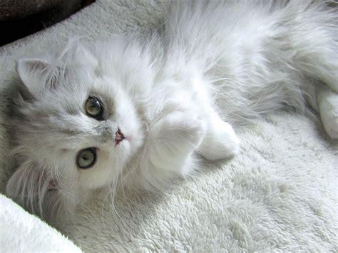 Cat Hd Wallpapers 1080p Wallpapersafari