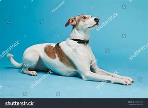 Brown And White Dog Breeds