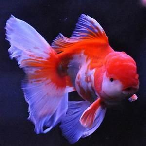 Goldfish Lovers