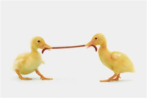 Shower Curtains Canada Online by Two Baby Ducklings Fighting Photograph By Thomas Kitchin