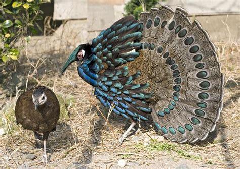 animali da cortile normativa chi siamo aifao amatori italiani fagiani e acquatici