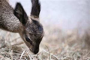 Cutest thing ever: Lincoln Park Zoo's baby Klipspringer ...