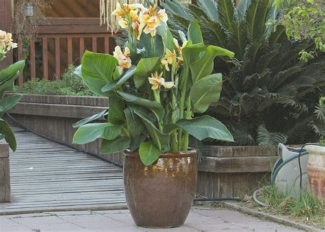 canna in pots colorful containers that can take the heat