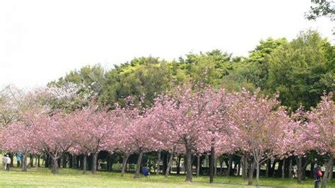 referensi tempat  saksikan keindahan bunga sakura