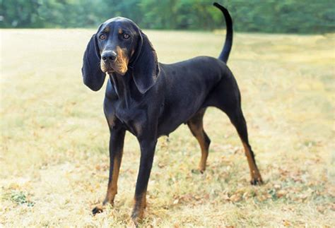 coonhound shedding breeds with black and markings pets world