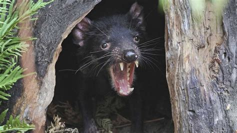 Until recently, it was only found on the island state of tasmania. Feisty Tasmanian Devils Roaming Australian Mainland Again