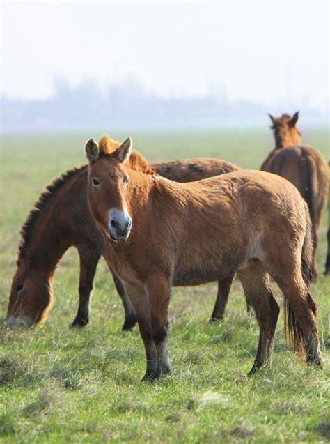 cavalo wild horse przewalski tarpan horses cavallo selvaggio wilde domestic animals paard selvagem britannica pferd salvaje caballo ancestors cavalos shutterstock