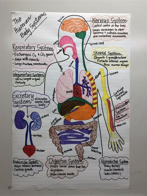 human body systems anchor chart   grade science