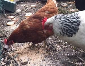 Comment élever Des Poules Pondeuses : comment nourrir une poule pondeuse poules avoir des poules un poulailler et des oeufs ~ Dode.kayakingforconservation.com Idées de Décoration