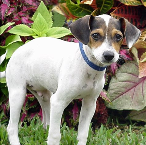 rat terrier shedding chandler rat terrier humane society of dallas county