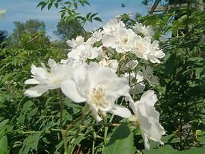 Busch Mit Gelben Blüten : rose 39 seagull 39 rosen bei schmid gartenpflanzen online kaufen ~ Frokenaadalensverden.com Haus und Dekorationen