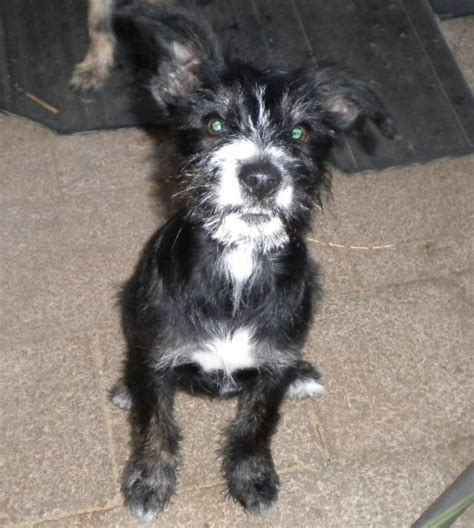 Cinder Small Female Cairn Terrier X Border Collie Mix In