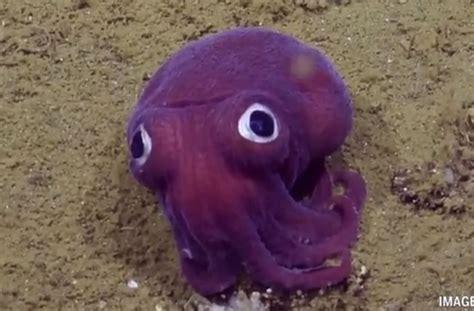 cuisine chou le mini poulpe violet aux grands yeux bien trop mignon pour un invertébré