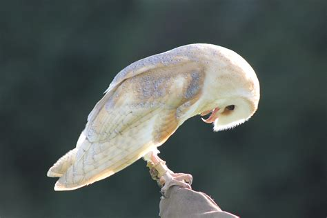 Fudge – Barn Owl | S&D Falconry