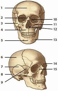 Free Anatomy Quiz - The Axial Skeleton, Quiz 1
