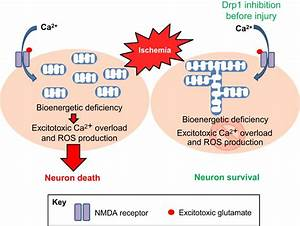 Mitochondrial Dynamics In Neuronal Injury  Development And