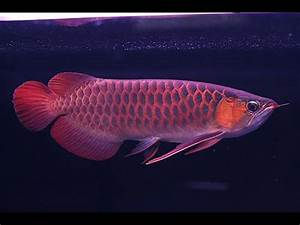 Types Of Arowana, Banjar Red Arowana Care, Arowana Chili ...