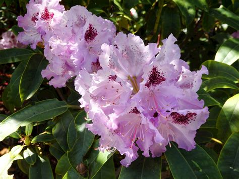 propagating rhododendrons rhododendron propagation for the home gardener past events mcbg inc 2018 fort bragg