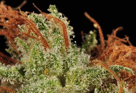 Ak-47 Marijuana Strain Review And Photos
