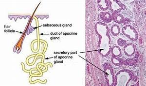 Diagram Of Apocrine Gland