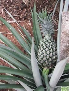 Plant D Ananas : plant d 39 ananas souvenirs de guyane ~ Melissatoandfro.com Idées de Décoration
