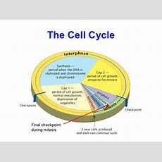 08 The Cell Cycle