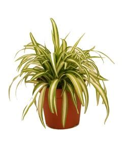 Garden Spider Toxicity by Spider Plant Additional Common Names Ribbon Plant