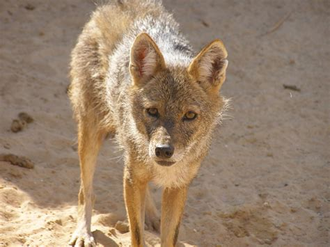 Wildlife of Algeria Wikipedia